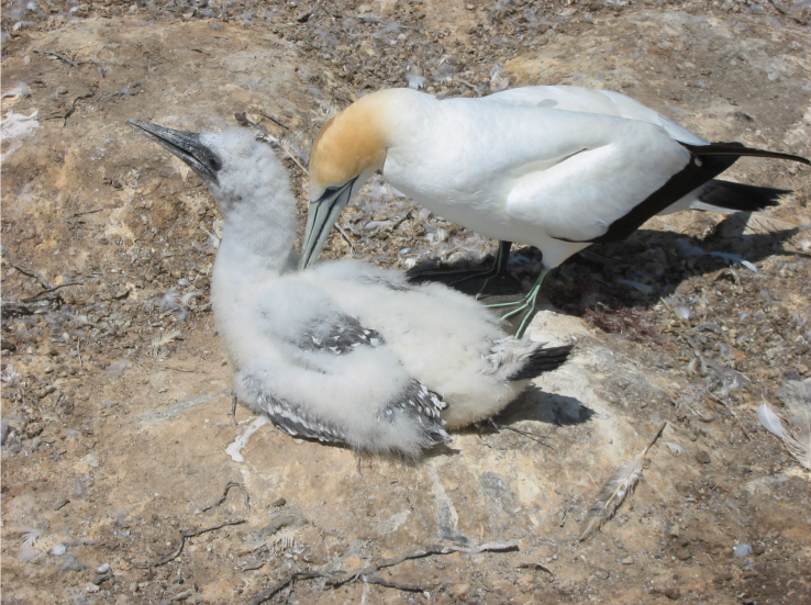 Gannets - mother and chick