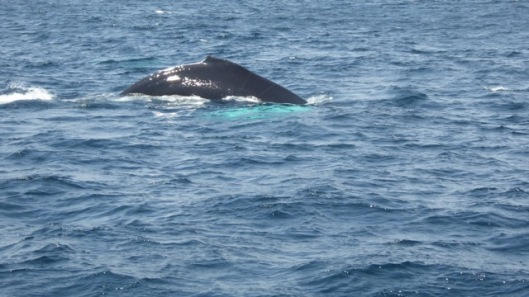 Whale watching off Avalon peninsula