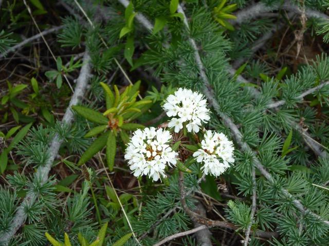 Wildflowers - used to make tea